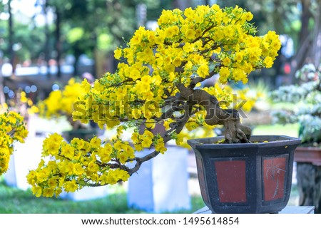 Apricot bonsai tree blooming with yellow flowering branches curving create unique beauty. This is a special wrong tree symbolizes luck, prosperity in spring Vietnam Lunar New Year #1495614854
