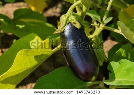 Ripe purple eggplant growing in a greenhouse. Ripe eggplant closeup. Soft selective focus. #1495745270