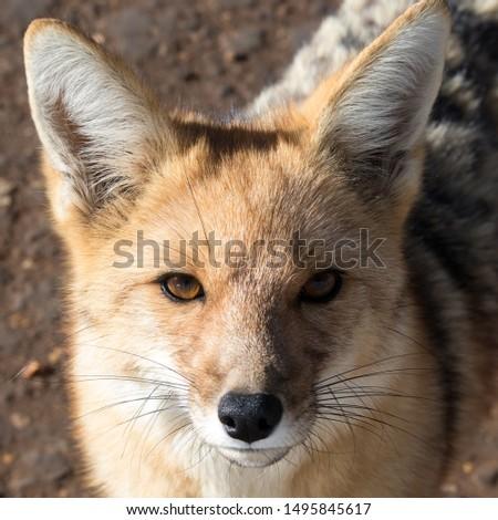 Desert fox in the Atacama desert #1495845617