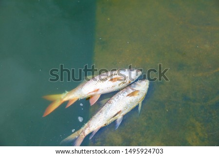 Dead fish floated in the dark water, Water pollution, River pollution, Beach pollution. #1495924703