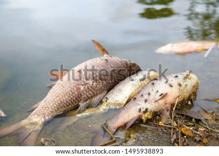 Dead fish floated with fly and other trash in the dark water, Water pollution, River pollution, Beach pollution. #1495938893