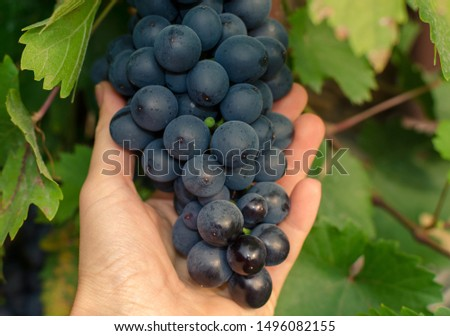 a bunch of ripe blue grapes hanging on a vine in a woman's hand. Close up. #1496082155