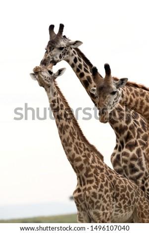 Giraffes courtship, Masai Mara, Kenya #1496107040