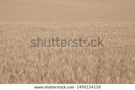 Field of wheat, Harwest of bread wheat , Triticum aestivum, Triticum monococcum #1496154158