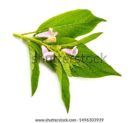 Sesame plant with flowers isolated on white background. #1496303939