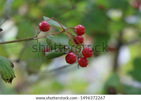 Red berries and green leaves on a branch   #1496372267