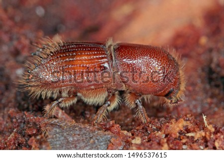 The European spruce bark beetle (Ips typographus), is a species of beetle in the weevil subfamily Scolytinae, the bark beetles. #1496537615