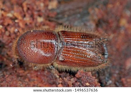 The European spruce bark beetle (Ips typographus), is a species of beetle in the weevil subfamily Scolytinae, the bark beetles. #1496537636