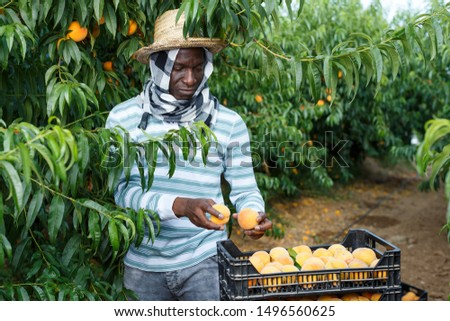 African-American man gardening in his orchard, picking fresh ripe peaches #1496560625
