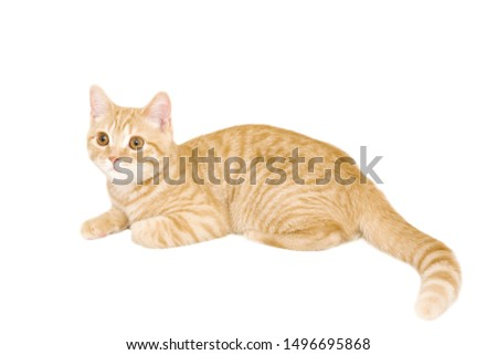 ginger/red british male shorthair kitten 4 month old isolated on white background  #1496695868
