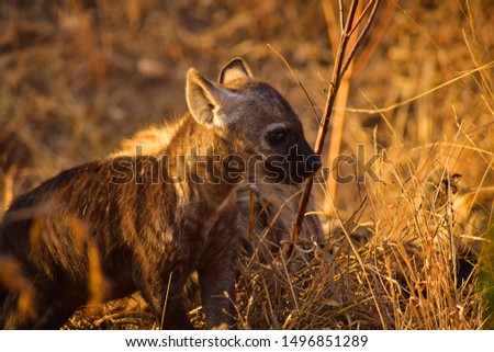 Close-up picture of very young Hyena in South Africa.