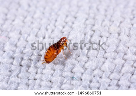 Fleas on a background of white fabric close-up. Destruction of parasites in pets. Treatment of premises with insecticides.