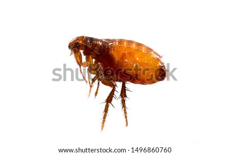Fleas on a white background close-up. Destruction of parasites in pets. Treatment of premises with insecticides. #1496860760