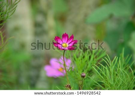 The delicate pink flower of Cosmos bipinnatus blooming in the garden. #1496928542