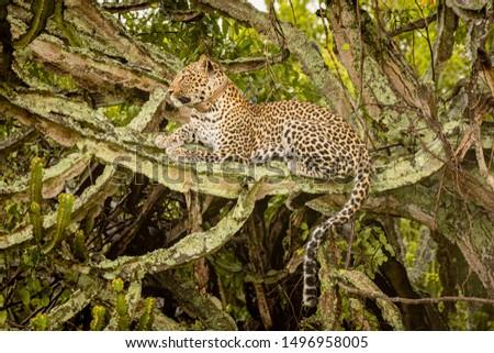 Leopard sitting in the tree in  National Park, Uganda #1496958005