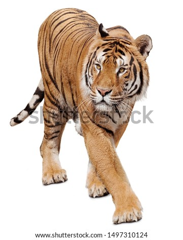 Tiger walking on white background Royalty-Free Stock Photo #1497310124