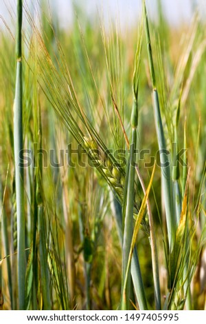wheat or rye on a young agricultural field in the spring, the plants are green and not ripe, Sunny weather #1497405995