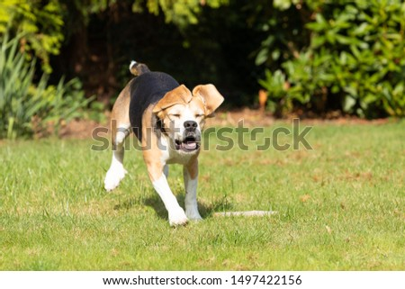 beagle running in the garden  #1497422156