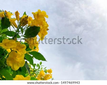 Yellow bell, yellow elder, yellow vine blooming in cloudy sky #1497469943