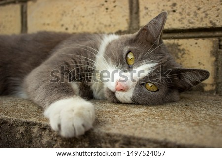 photo portrait of a reclining gray cat with yellow eyes