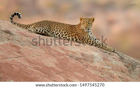 Jawai- India's Leopard Hills is home to close to 70 wild Leopards, seen here is one of the dominant female Leopard keeping a vigil over her territory from a cliff.  #1497545270