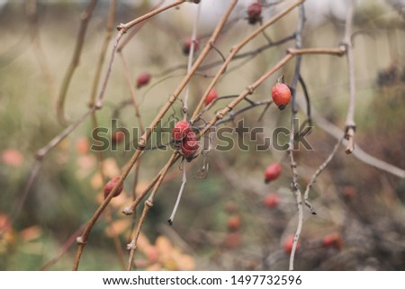 Nature background texture. Dry rose hip with  red berries #1497732596