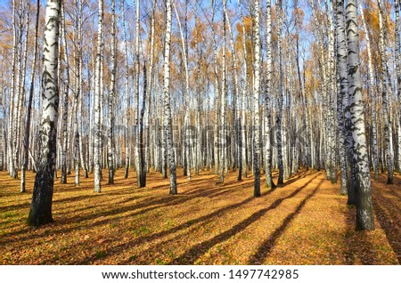 Beautiful autumn landscape, birches with yellow  leaves in the wind, autumn forest, falling leaves #1497742985