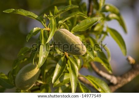 Almond tree with nuts (Prunus dulcis). #14977549