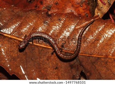 A California Slender Salamander blends in with dead leaves on the forest floor.
