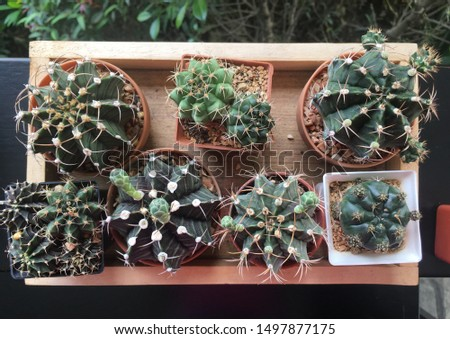 Small cactus in a pot placed near each other.  There are many different types. #1497877175