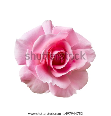 Fresh beautiful pink rose isolated on a white background #1497944753
