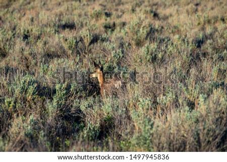 Roe Deer in the wilderness of Alberta in the wilderness of Alberta #1497945836