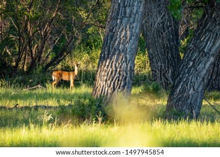 Roe Deer in the wilderness of Alberta in the wilderness of Alberta #1497945854