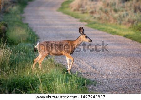 Roe Deer in the wilderness of Alberta in the wilderness of Alberta #1497945857