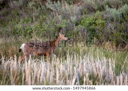 Roe Deer in the wilderness of Alberta in the wilderness of Alberta #1497945866