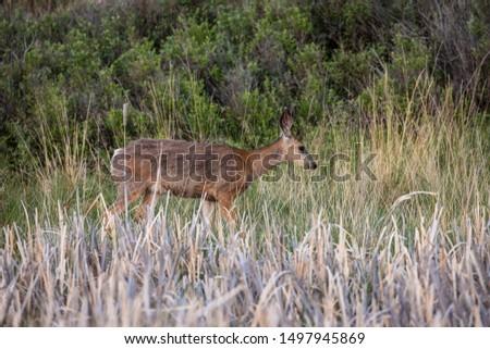 Roe Deer in the wilderness of Alberta in the wilderness of Alberta #1497945869