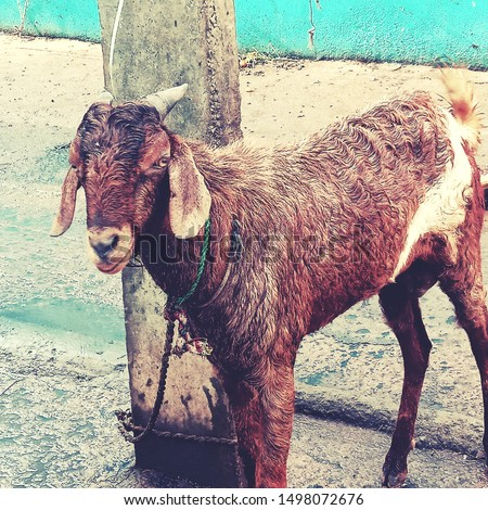 village goat natural  animal pic