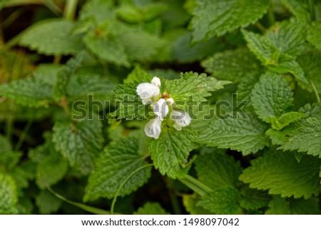 Nettle flowers in a Russian forest #1498097042