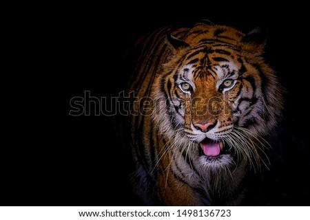 Face tiger the Siberian tiger (Panthera tigris tigris) also called Amur tiger #1498136723
