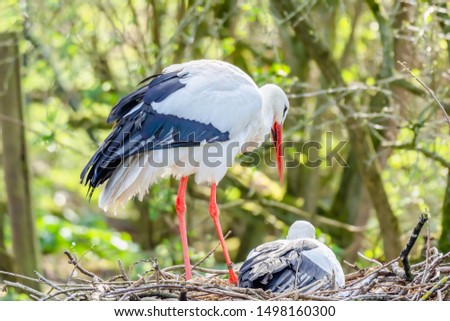 White stork with chick in nest.Beautiful, large wadding bird with long red beak and legs nesting in natural habitat.Blurred woodland in background.Wildlife photography. #1498160300