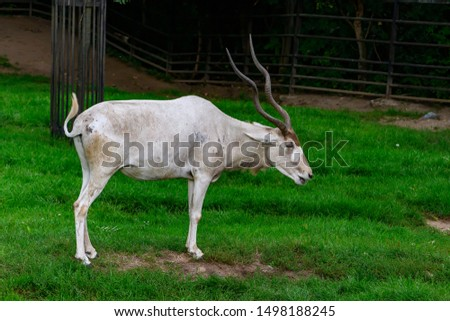The addax (Addax nasomaculatus), also known as the white antelope and the screwhorn antelope, is an antelope of the genus Addax, that lives in the Sahara desert. ZOO Prague. #1498188245