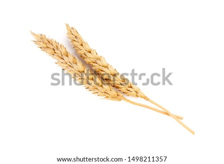wheat isolated on white close up. Ears of wheat. Isolated bunch of golden wheat ear after the harvest. #1498211357