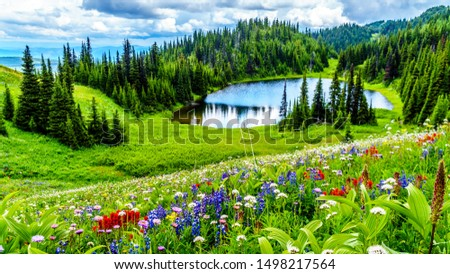 Hiking to Tod Lake through the alpine meadows filled with abundant wildflowers. On Tod Mountain at alpine village of Sun Peaks in the Shuswap Highlands of British Columbia, Canada Royalty-Free Stock Photo #1498217564