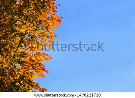 Autumn leaves against blue sky autumn maple leaves orange copy space background #1498221710