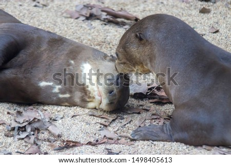 One giant otter is kissing another giant otter  (Pteronura brasiliensis). A South American carnivorous mammal. It is the longest member of the Mustelidae