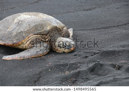 Turtle relaxing on black sand beach #1498495565