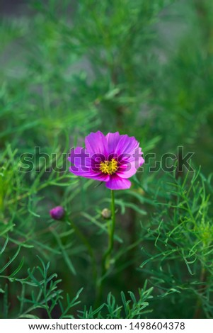 A single Pink cosmos flowers blooming in the garden #1498604378