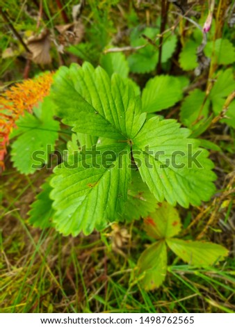 Green leaf of a delicious berry of wild strawberry.  Wild strawberry is a wild berry growing in the wild. #1498762565