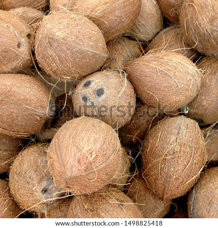 Macro photo of tropical fruit coconut. Texture hairy nuts coconut fruit. Coconuts in the shell. #1498825418