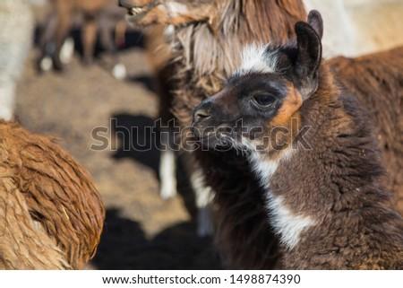 The llamas of the Bolivia plateau #1498874390